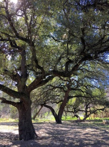 shoal creek liveoaks