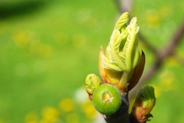 Ficus_bud