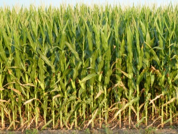 mid-july-12-corn