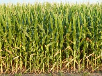 mid-july-12-corn