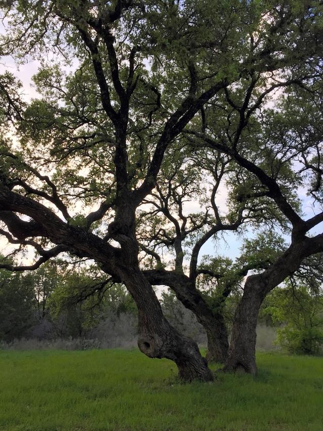 live-oak-trunks